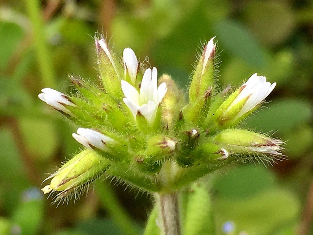 オランダミミナグサのまだ先が閉じている果実、先端が10裂して種子が自然落下します