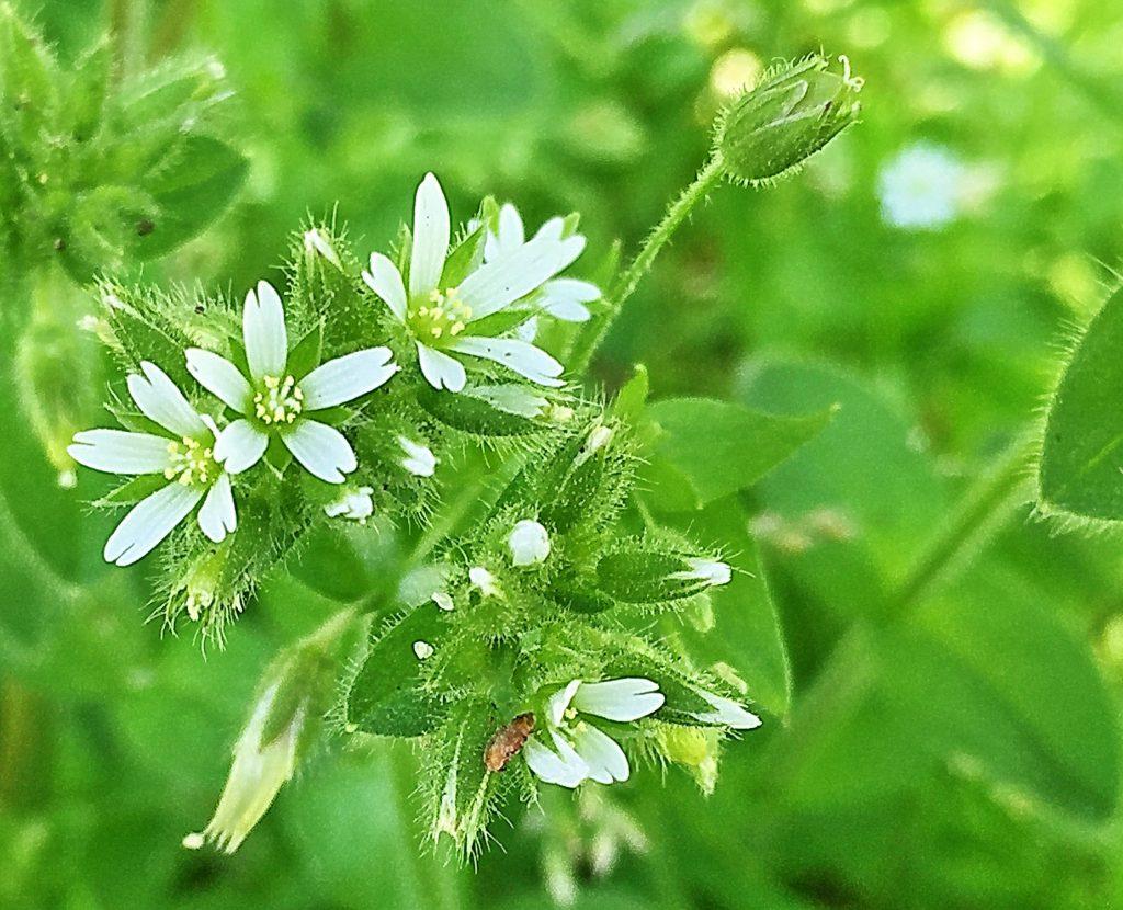 5枚の花弁に雄しべが10本、柱頭が5裂したオランダミミナグサの花