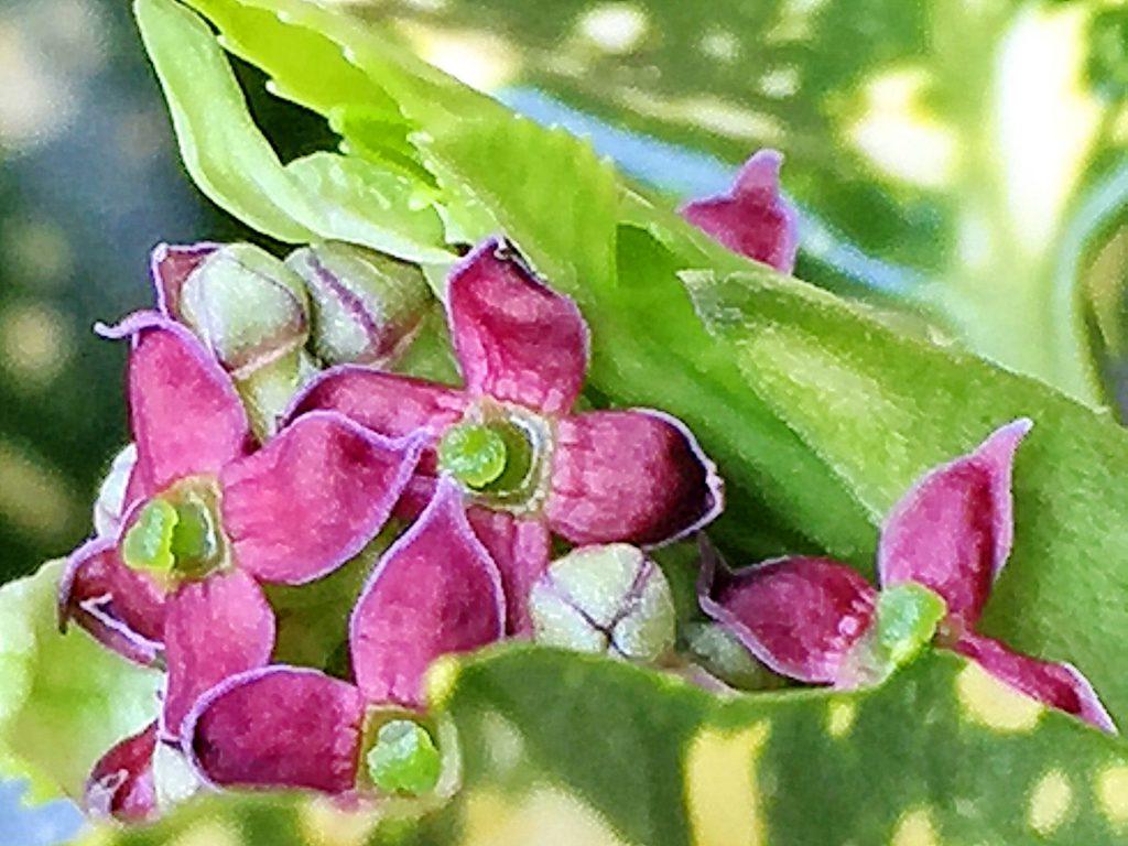 赤紫色の花弁は4枚、緑色の子房があるアオキの雌花
