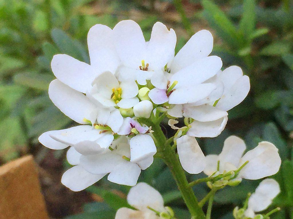 中央まで咲きあがってこんもりとしたイベリス・センペルヴィレンス