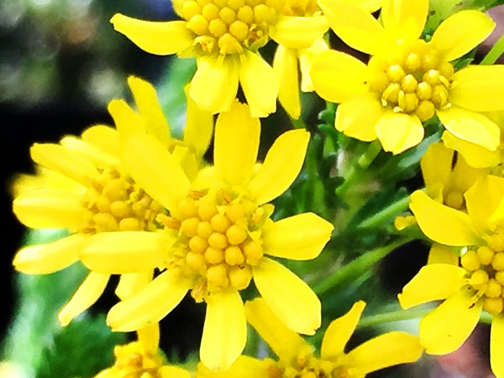 ゴールデンクラッカーの舌状花と筒状花