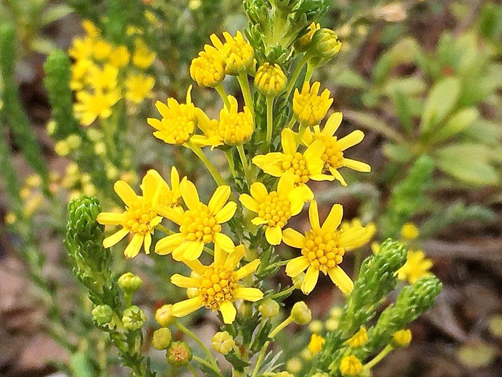 ゴールデンクラッカーの黄色い頭状花