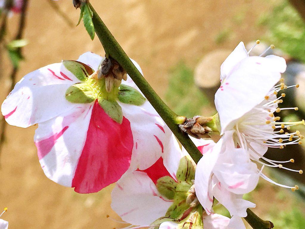 いろいろな形の白と赤のハナモモ(源平枝垂れ)
