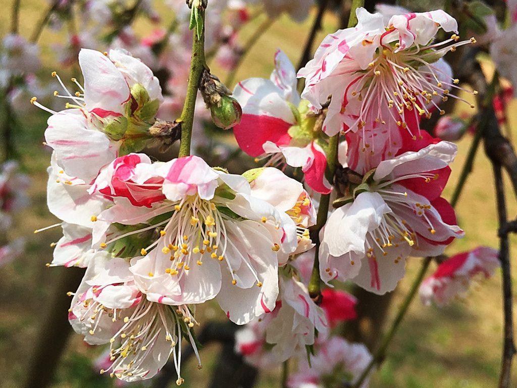 源氏の旗印の白と平家の旗印の赤の花が競い合うハナモモ