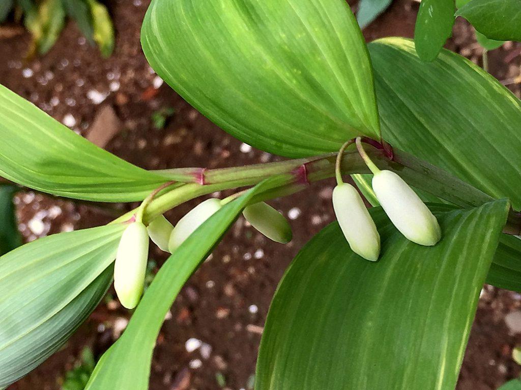 アマドコロの葉柄はなく長楕円形の葉