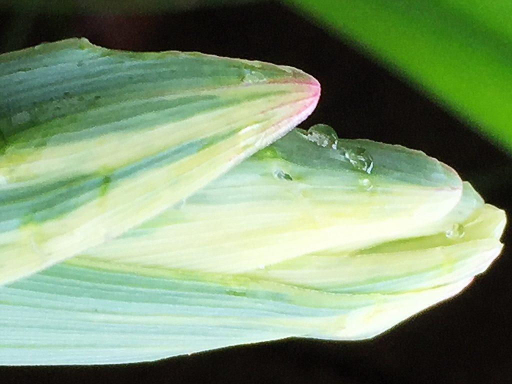アマドコロの出てきたばかりの葉