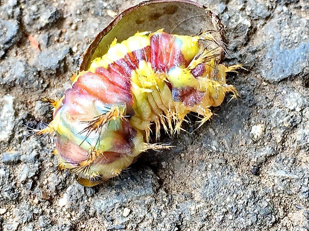 繭の中の鮮やかな色のイラガの終齢幼虫