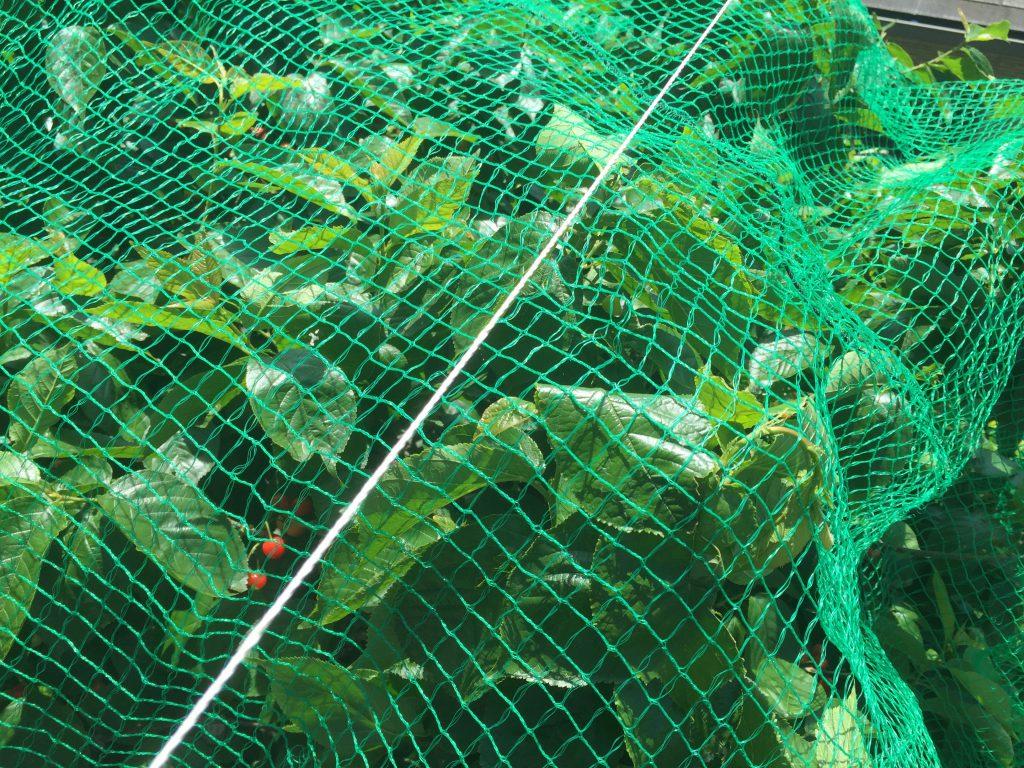 サクランボの木のヒヨドリ対策の網