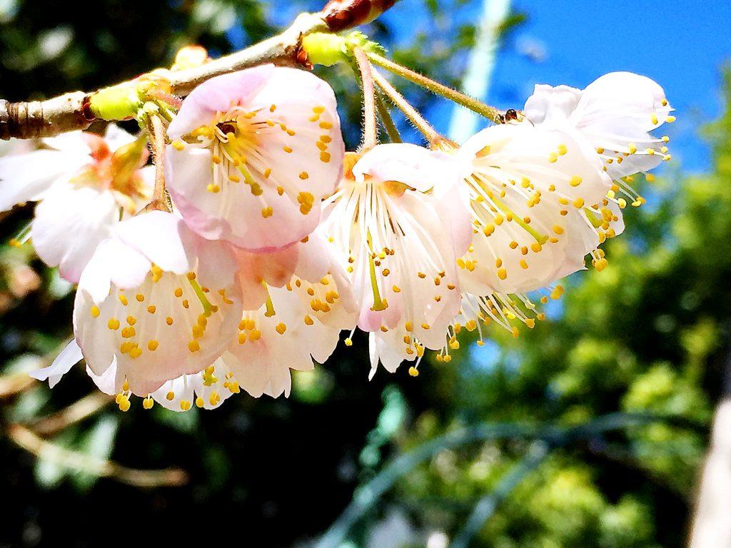 さくらんぼ(暖地桜桃)の花