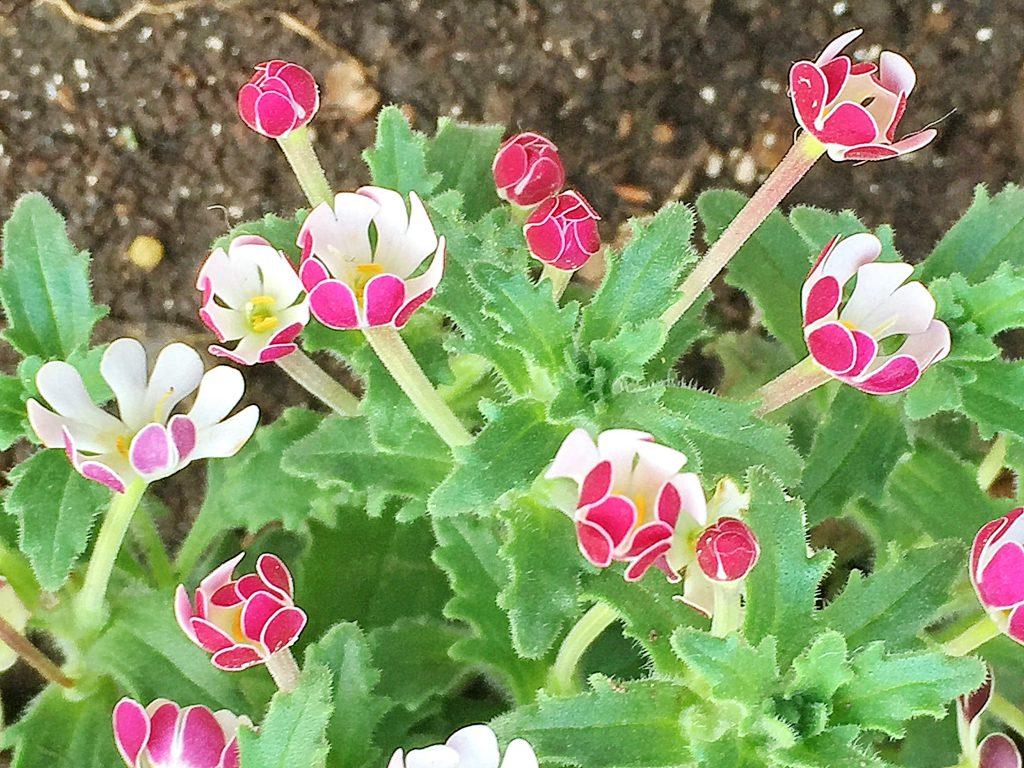 ザルジアンスキアの花