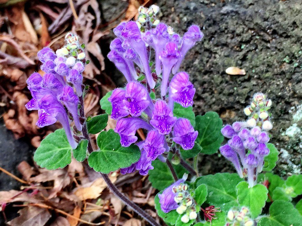 皆で一方向に向いているタツナミソウの花
