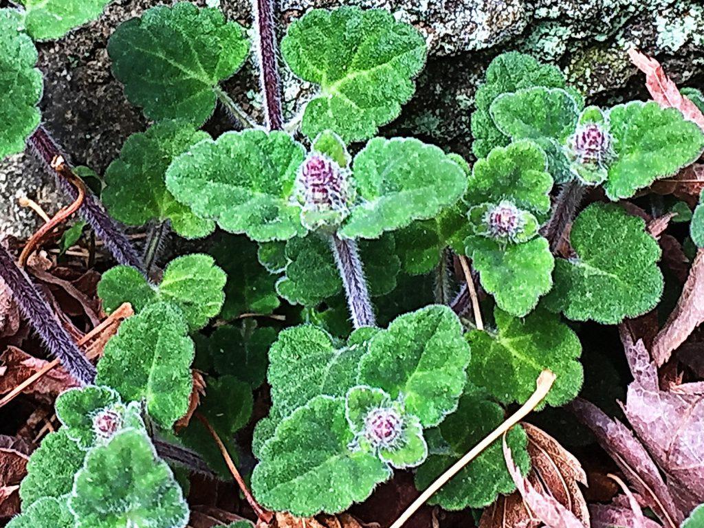 葉裏に蜜腺があるタツナミソウの葉