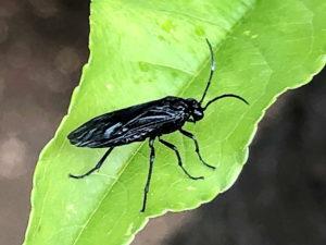 ヒゲナガクロハバチの成虫