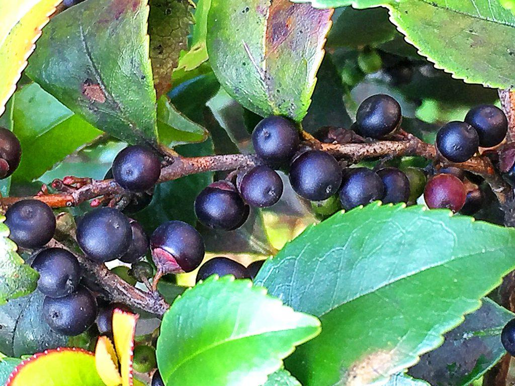 鳥が大好きな熟したヒサカキ(姫榊)の黒紫色の果実