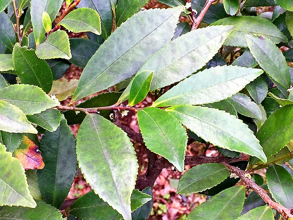 平面的に付ける光沢のあるヒサカキ(姫榊)の葉