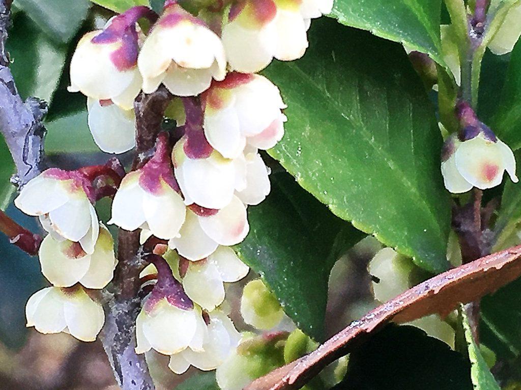 ヒサカキ(姫榊)の花