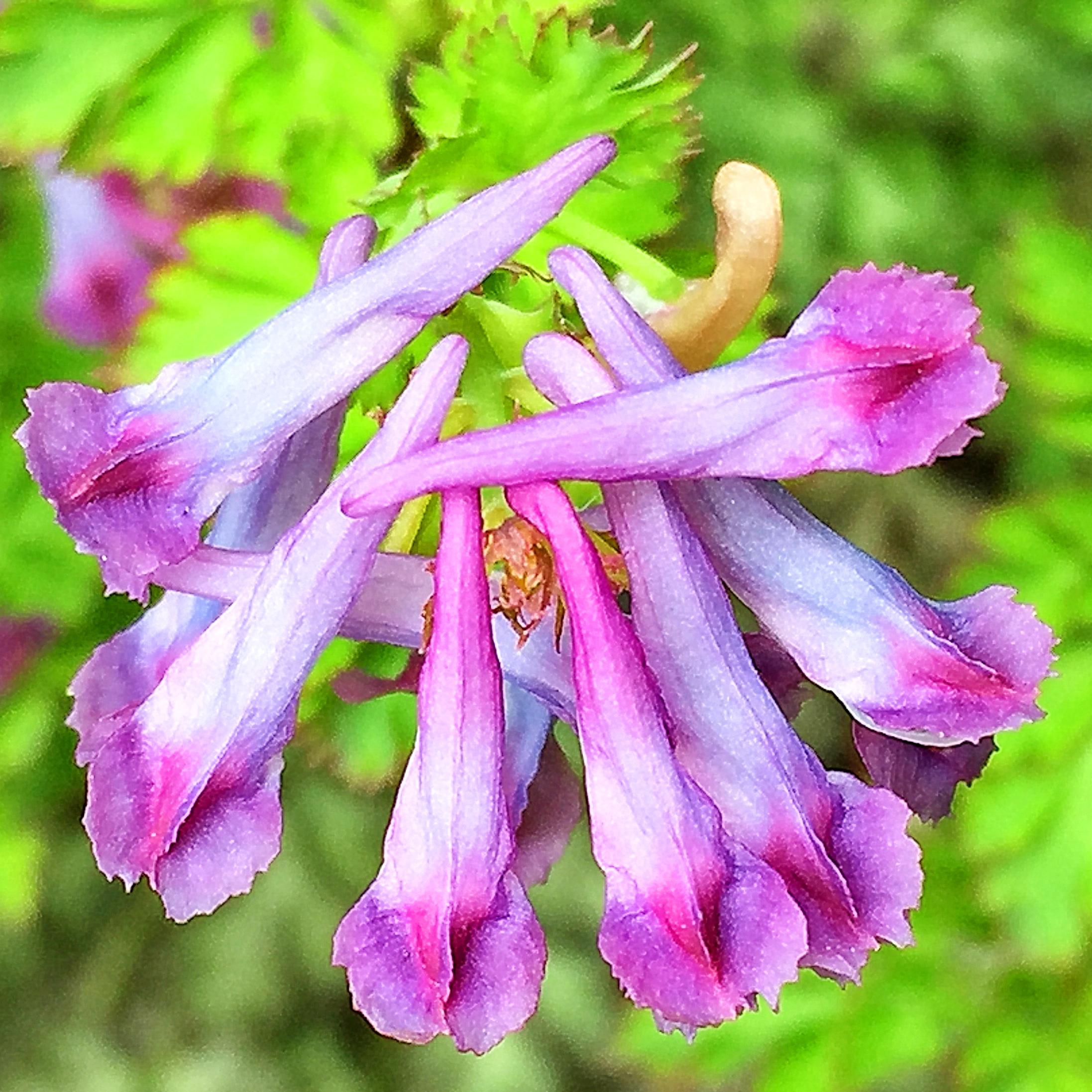 ムラサキケマンの花