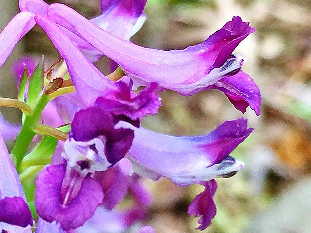 ムラサキケマン(紫華鬘)の距の中には蜜腺