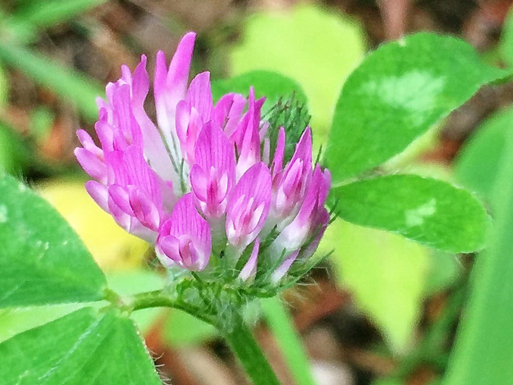 ムラサキツメクサの5枚線形の萼片と紅紫色の蝶型の花