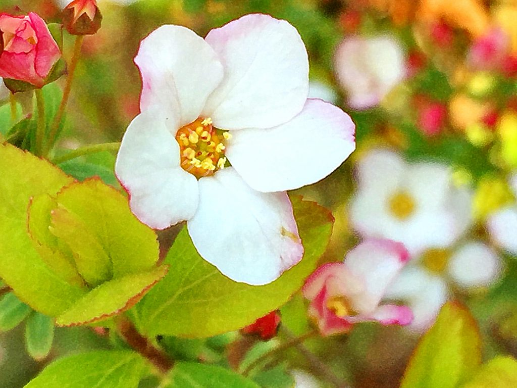 ほのかにピンク色を差したユキヤナギピンクの花
