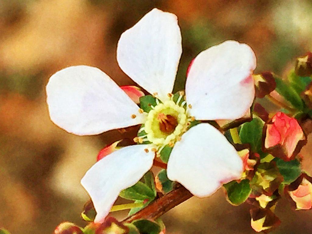 ユキヤナギピンクの黄色い蜜腺