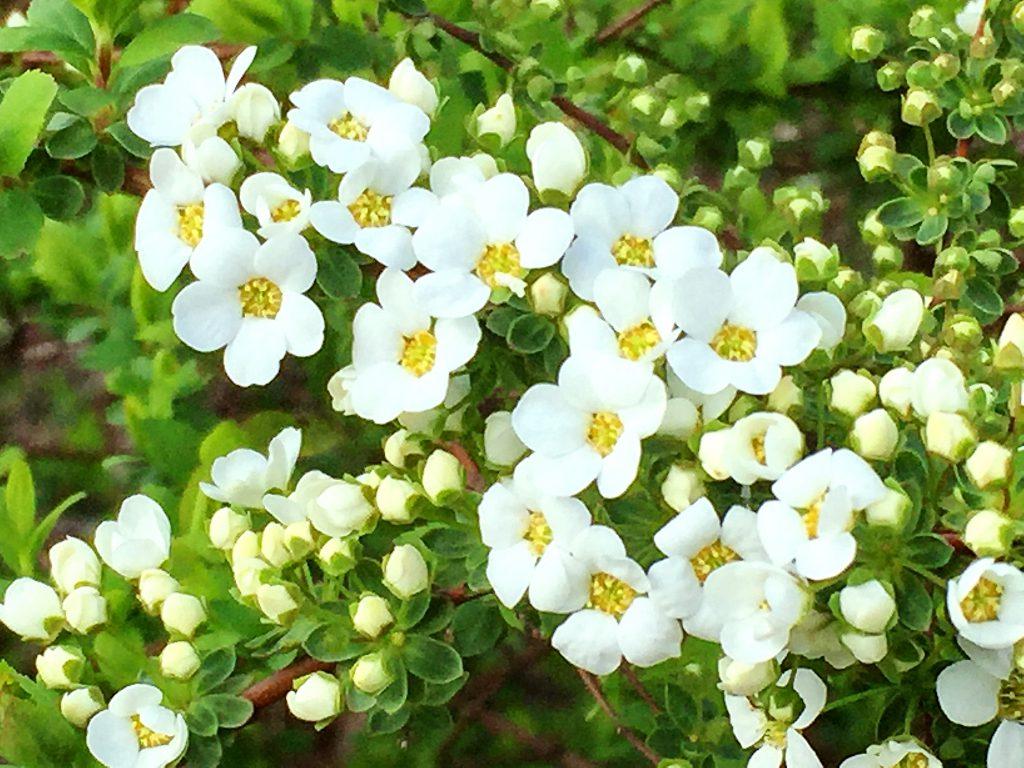 枝を覆うように小さな白い花を沢山つけるユキヤナギ