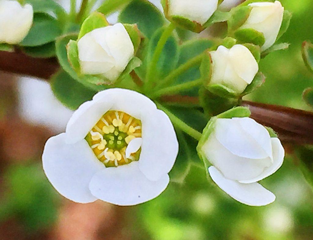 まぶしいほど鮮やかな白色のユキヤナギの花