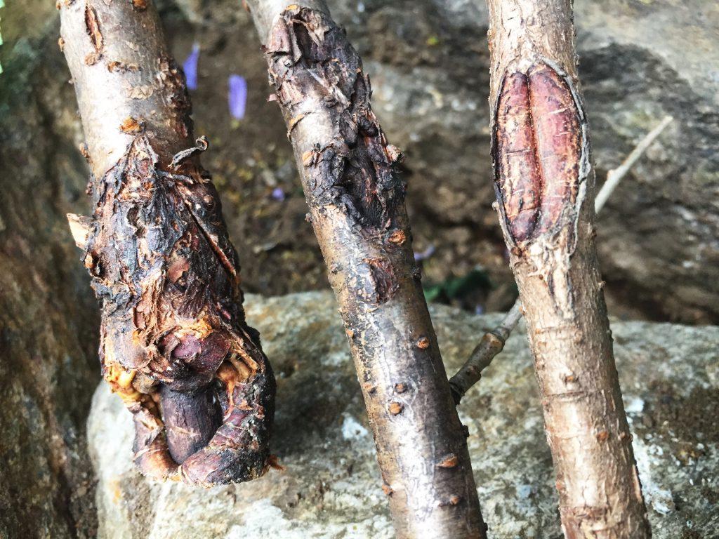 形成層が無残な姿になった枝