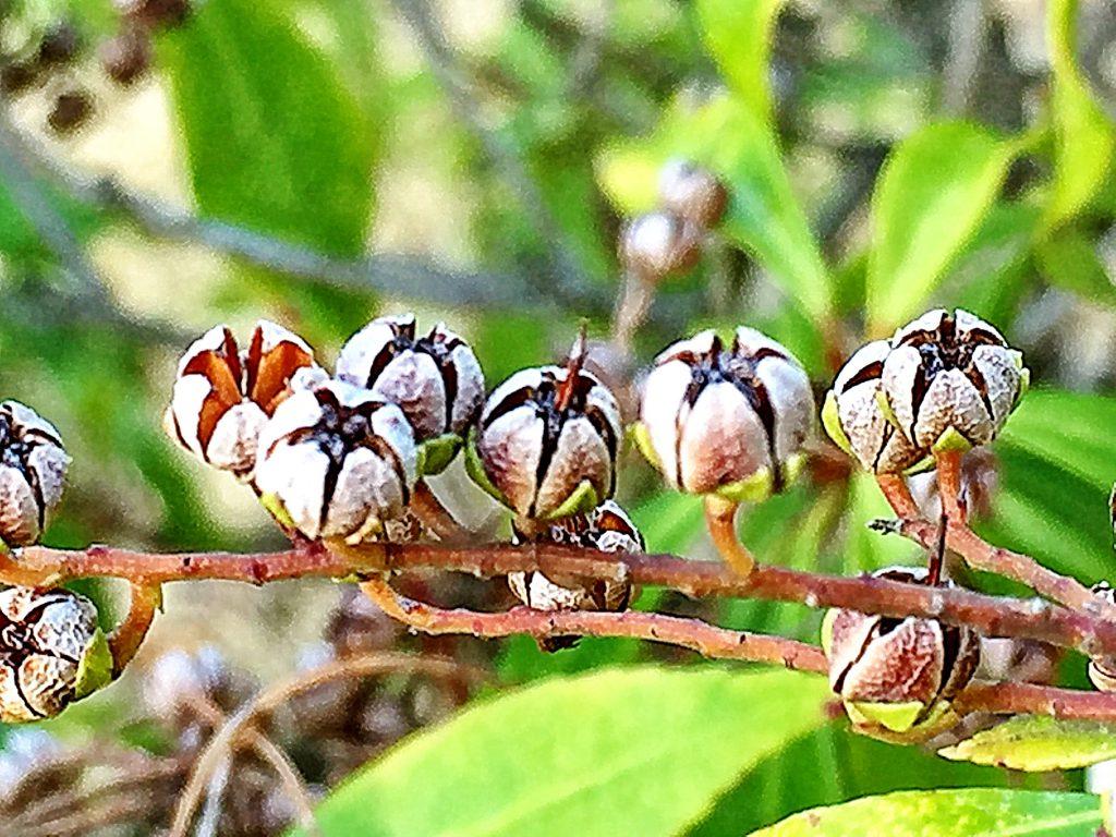 アセビの扁球形の蒴果