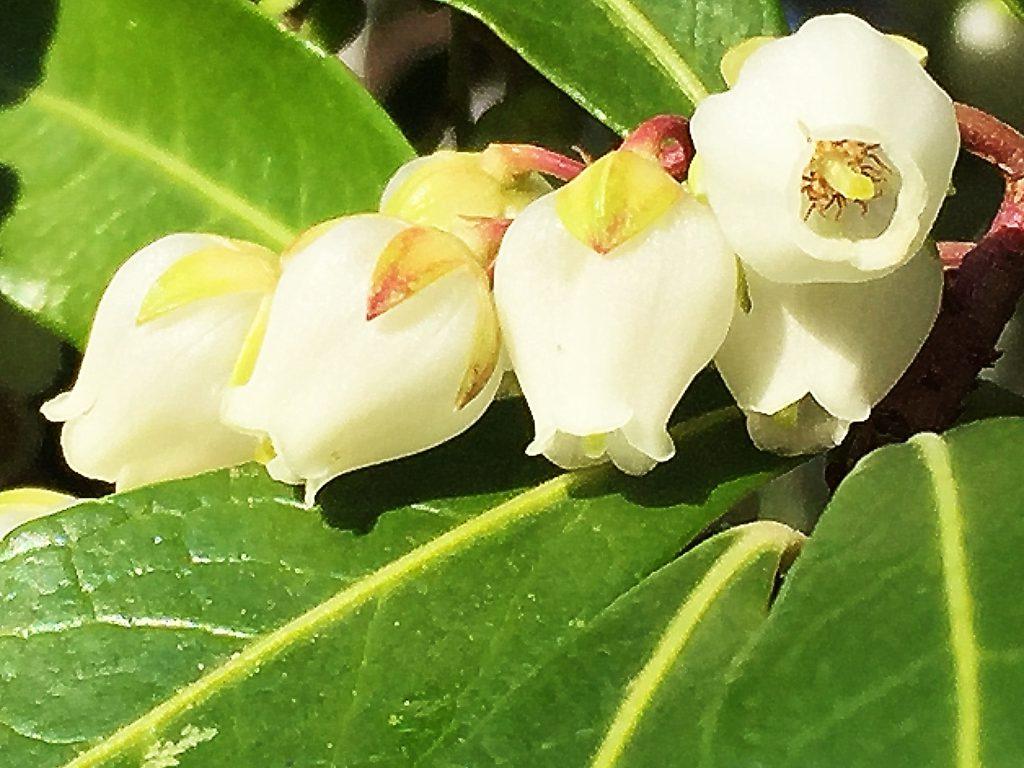 先端が浅く5裂した長壺型のアセビの白い花