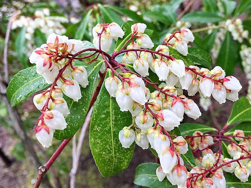枝を覆うように白い壺型の花を下向きに付けるアセビ