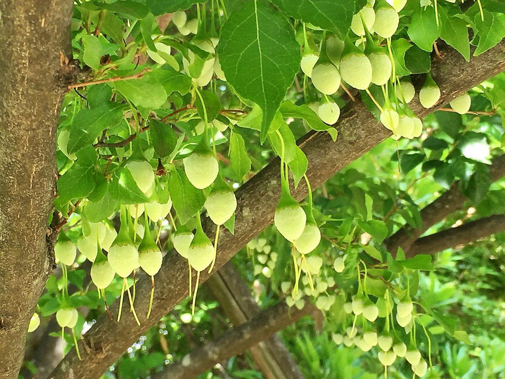 暗紫褐色の幹とエゴノキの果実