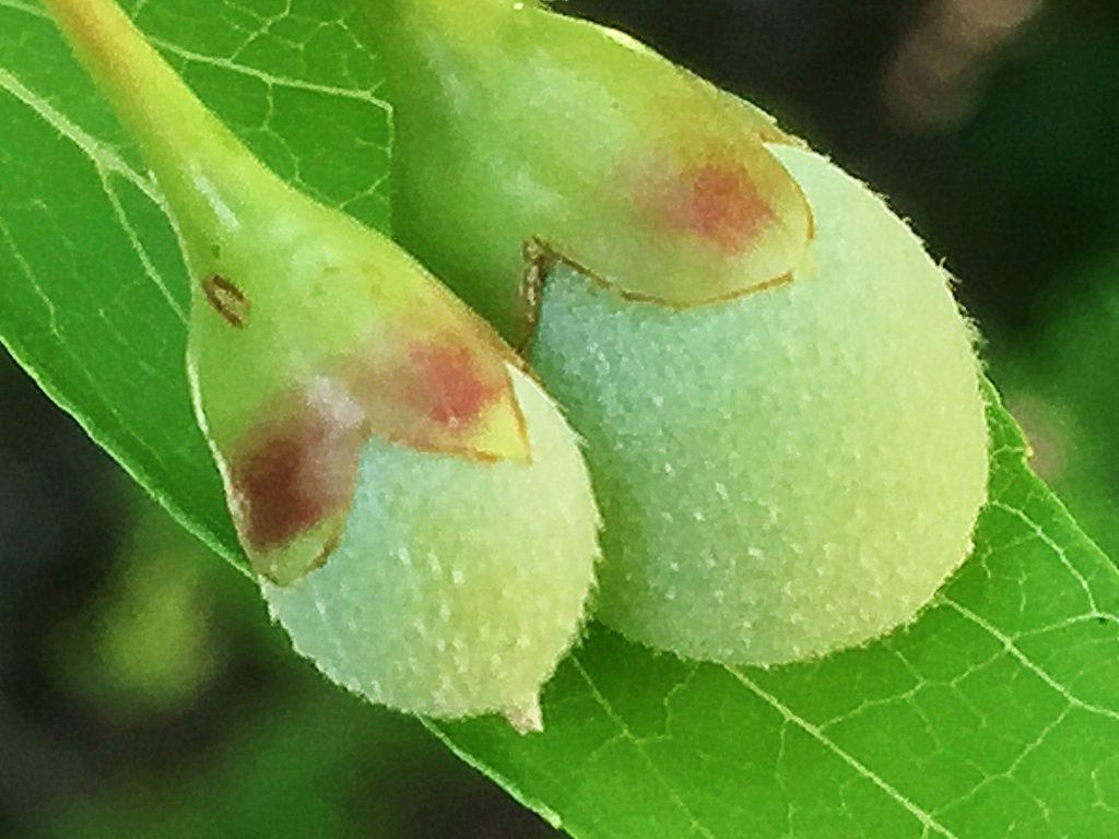 星状毛があり淡灰色のエゴノキの果実