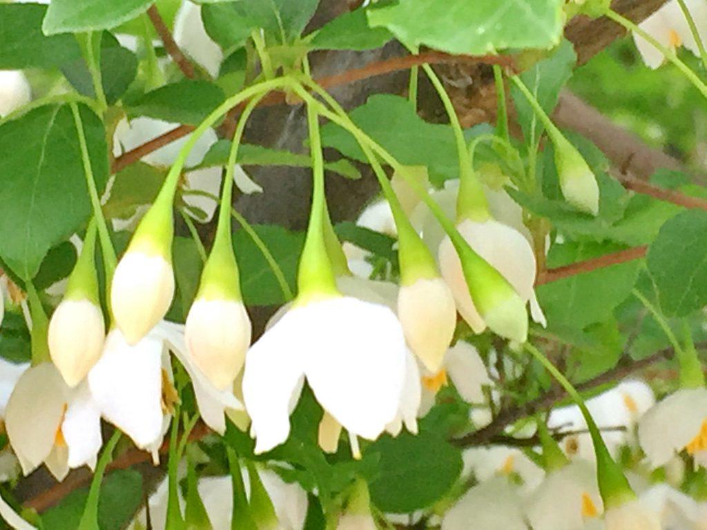 枝先に白色の沢山の花をつけるエゴノキ