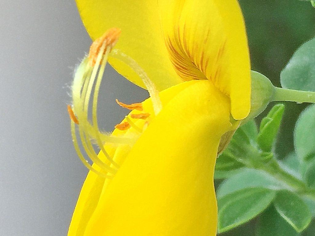 ヒメエニシダの昆虫が翼弁に乗ると押し下げられて葯が現れる