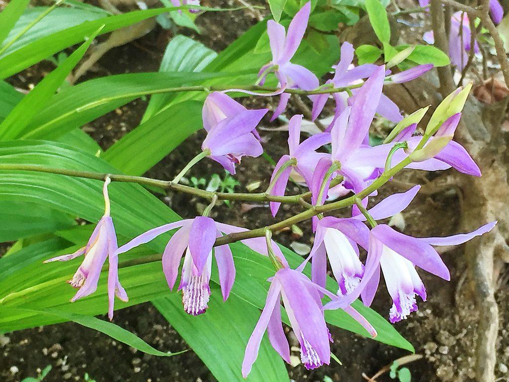 シラン(紅蘭)下から花が咲きあがって