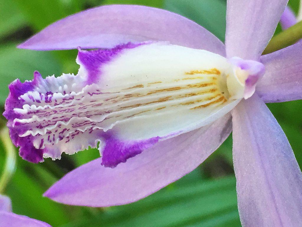 シランの昆虫が唇弁に乗り奥へ進むと花粉塊が現れて背中に