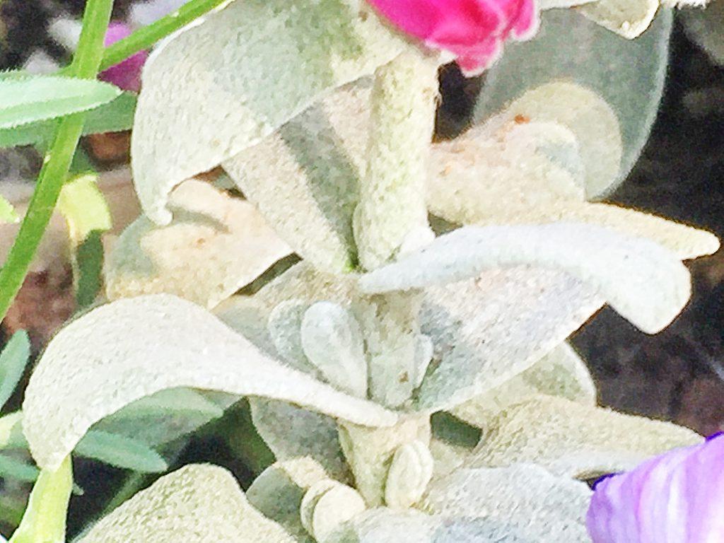 銀白色の毛でおおわれたピティロディア