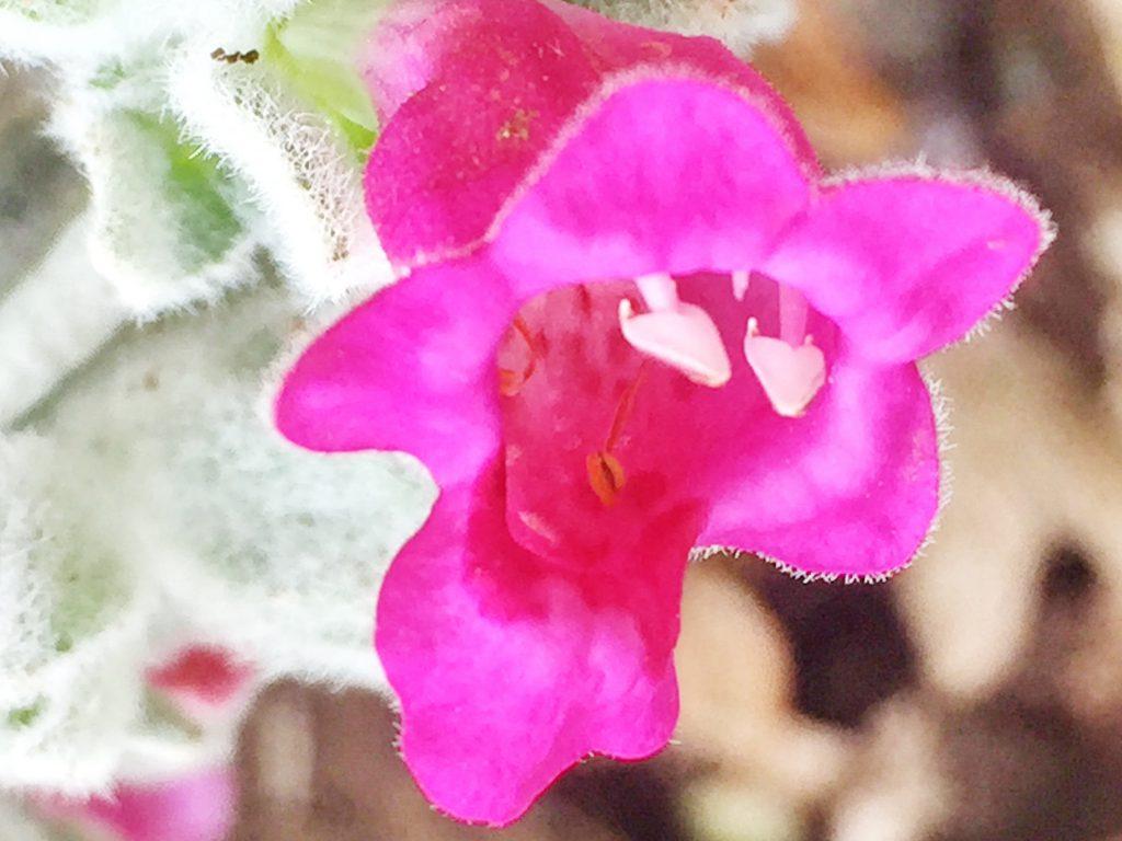 毛むくじゃらの銀色とショッキングピンクの花ピティロディア