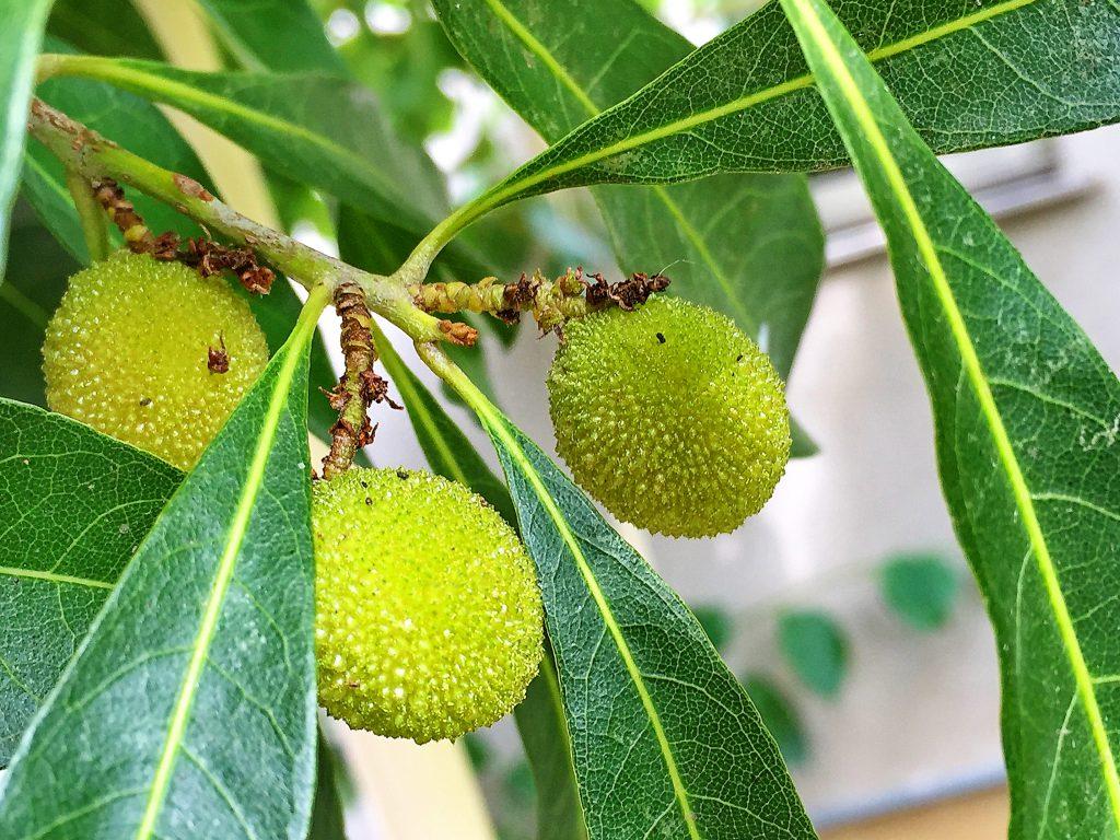 ヤマモモの若い果実