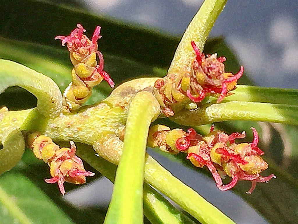 赤い花柱が飛び出したヤマモモ(森口)の雌花
