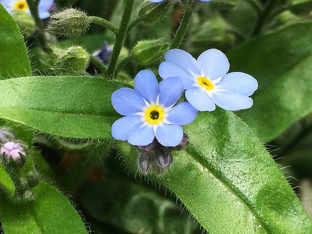 青い花に黄色い副冠のあるワスレナグサ(勿忘草)の花、