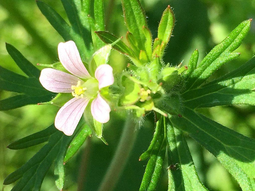 アメリカフウロのピンク色の花弁に赤紫色の筋
