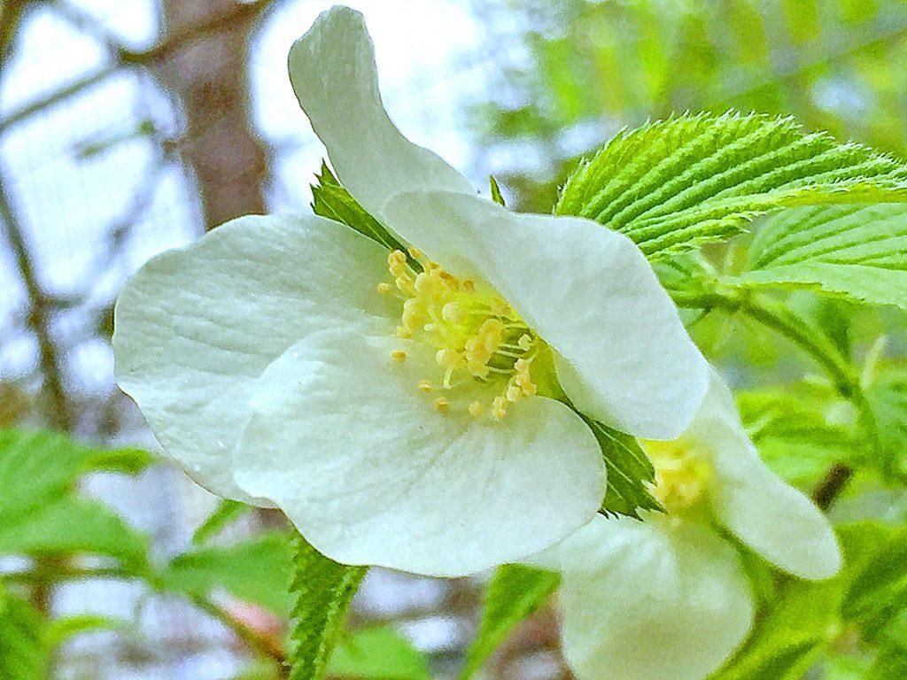 シロヤマブキのの明るい葉の色と清楚な白い花