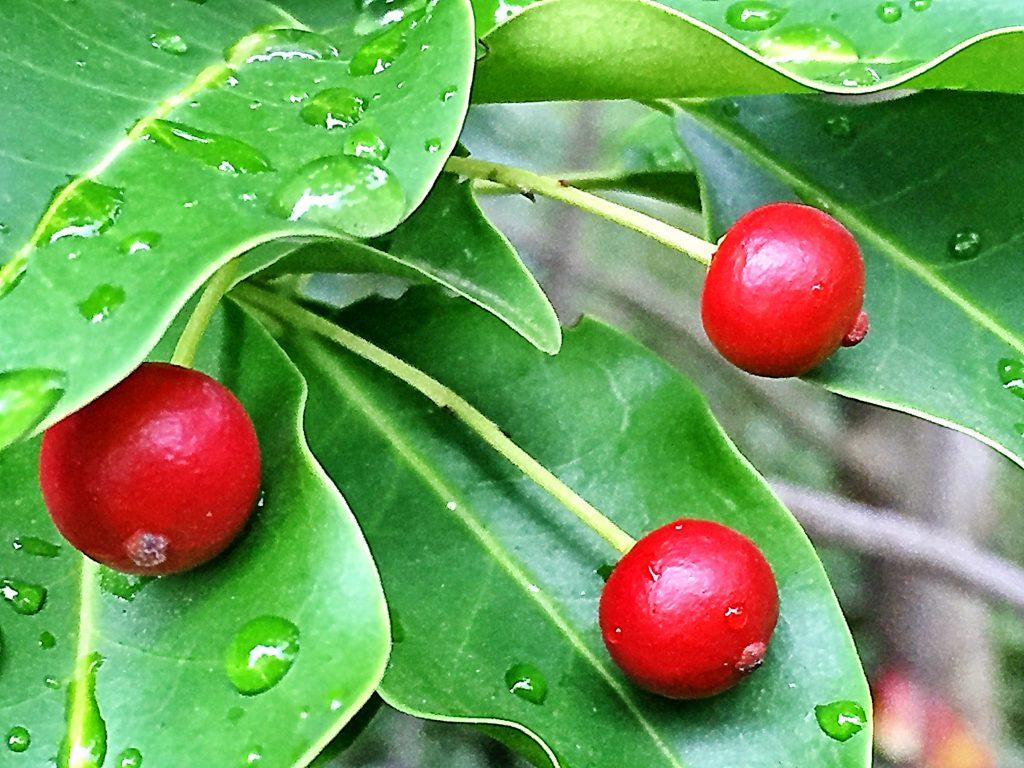 雌株に付いた球形の赤い核果