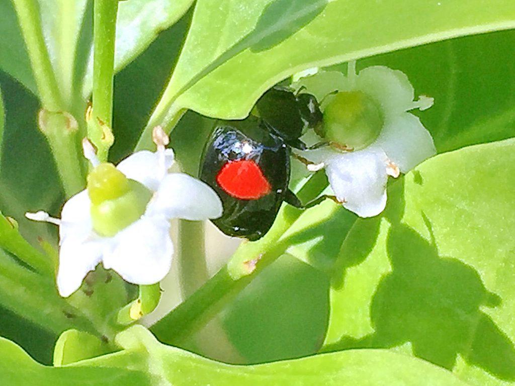 ソヨゴの雌花とナミテントウ