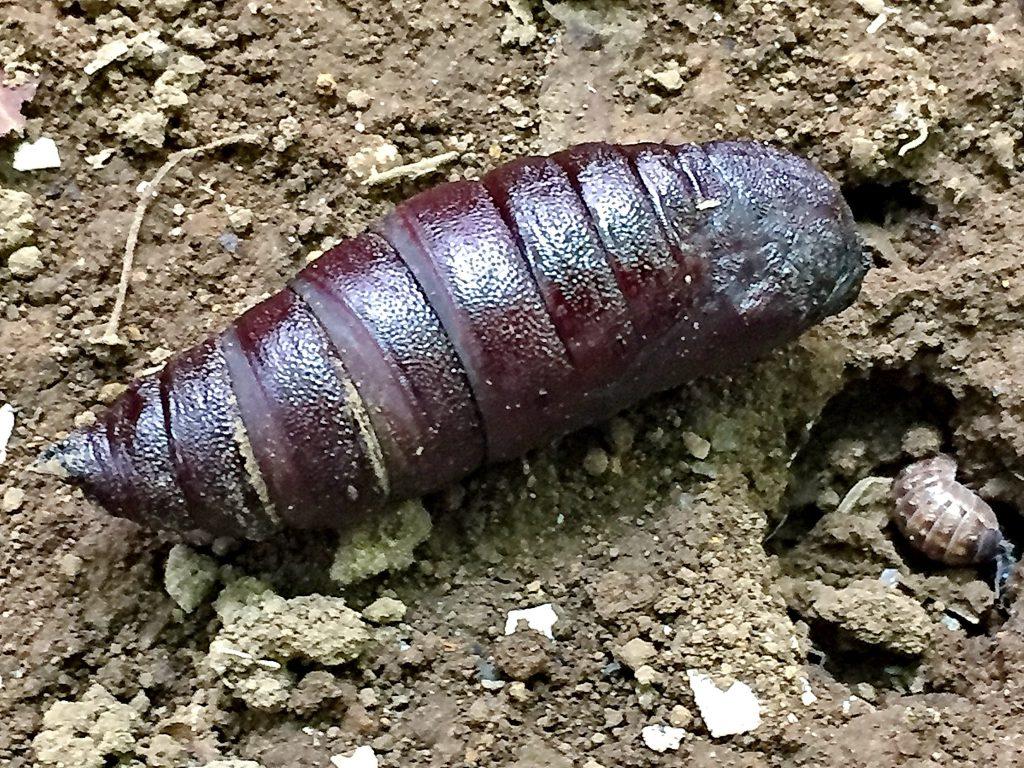 モモスズメの蛹