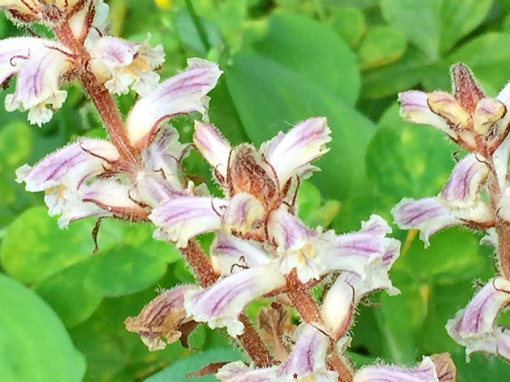 寄生植物のヤセウツボ