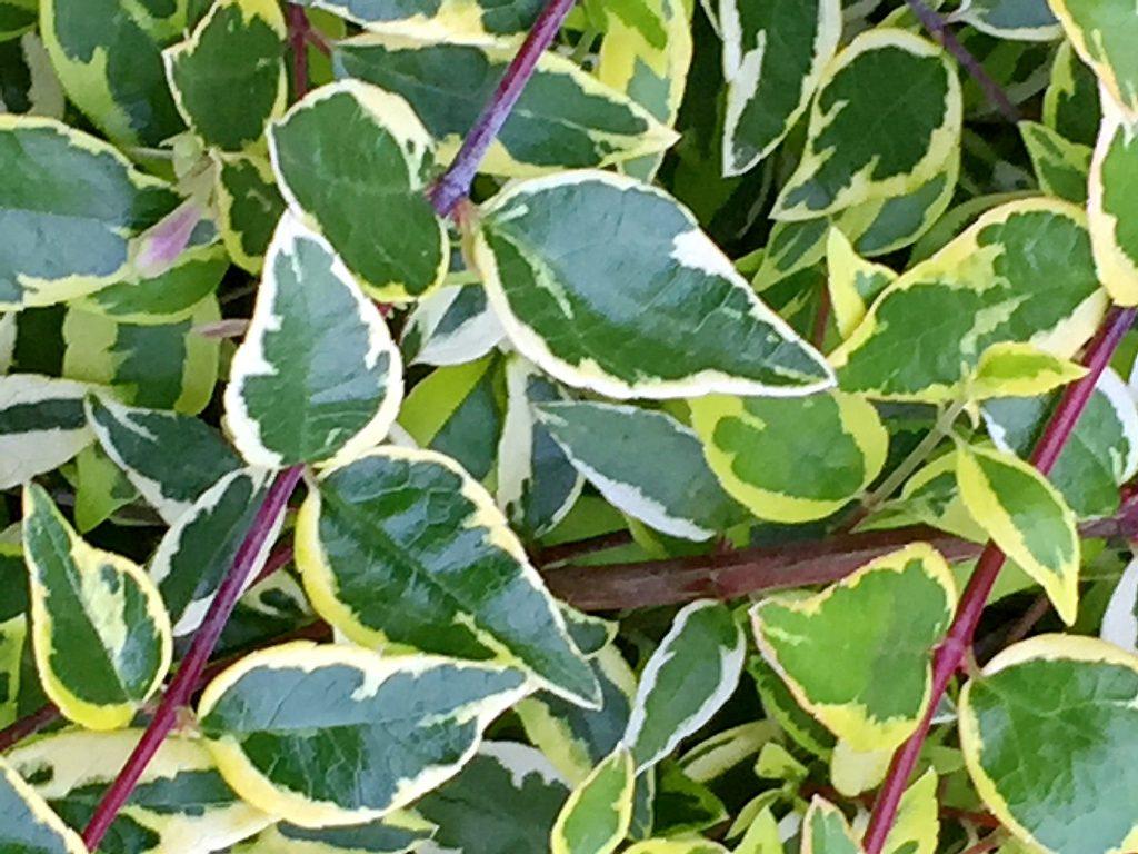 アベリア斑入りの葉