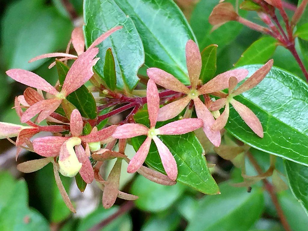 アベリア(花衝羽根空木)花後に残った萼